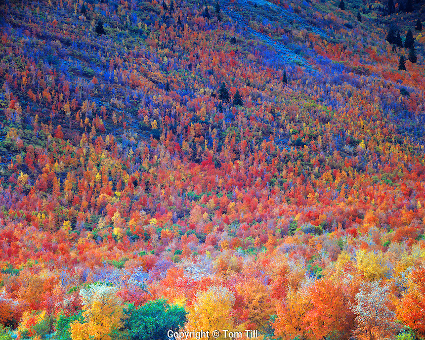 Maples and Oaks, Mount Naomi Wilderness, Wasatch Cache National Forest, Utah