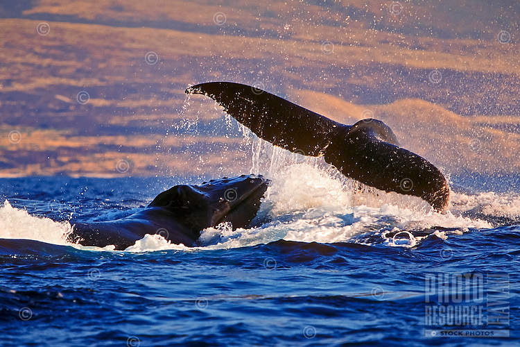 Humpback whales (Megaptera novaeangliae) in rowdy heat run, female whale throwing caudal peduncle toward lunging male near the Big Island