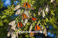03536-05211 Monarch butterflies (Danaus plexippus) roosting in Eastern Red Cedar tree (Juniperus virginiana),  Prairie Ridge State Natural Area, Marion Co., IL