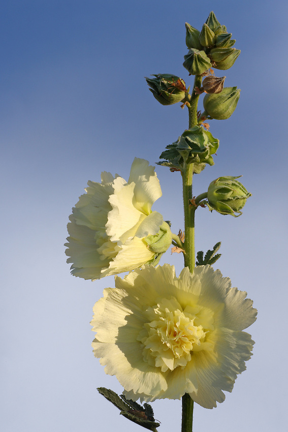 Hollyhocks comprise about 60 species of flowering plants in the genus Alcea in the mallow family Malvaceae, native to southwest and central Asia.