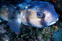Portrait of a Freckled Porcupinefish (Diodon holocanthus), Le Sournois Reef, Noumea Lagoon, New Caledonia.