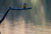 A Kingfisher (Alcedo atthis) perched above a small lake in Iziumi no Mori park in Yamato, Kanagawa, japan. Friday November 2nd 2018