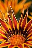 Gazania 'Big Kiss' Yellow Flame drought tolerant flower
