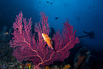 Coral Grouper, Red Gorgonian coral with diver