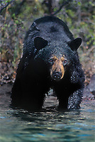 609652078 a wild american black bear ursus americanus wades into a large lake in the northwest territories in canada