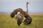 Female ostrich (Struthio camelus) displaying, Maasai Mara
