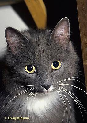 SH33-003z  Cat - house cat