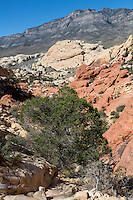 Red Rock Canyon, Nevada.  Looking  Back on Trail to Calico Tanks.  La Madre Mountain in Keystone Thrust rises in Background.