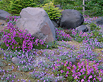 Mount St Helens National Monument, WA<br /> Flowering dwarf lupine and Cardwell's penstemon nestled against boulders in the alpine meadows of Lahar