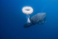 humpback whale, Megaptera novaeangliae, blowing a bubble ring, Kona Coast, Big Island, Hawaii, USA, Pacific Ocean