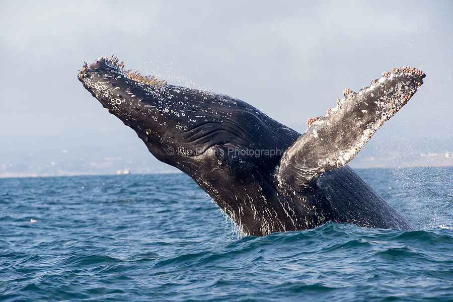 Humpback Whale, Monterey Bay, California, humpback