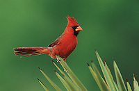 Northern Cardinal, Cardinalis cardinalis,male on Trecul Yucca (Yucca treculeana) , Starr County, Rio Grande Valley, Texas, USA, March 2002