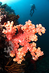 Pink soft coral with diver silhouette, Dendronephthya sp., Anilao, Batangas, Luzon, Philippines, Pacific Ocean