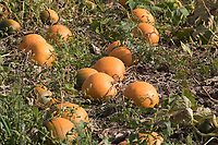 Pumpkins ready for harvesting<br /> Picture Tim Scrivener 07850 303986<br /> &hellip;.covering agriculture in the UK&hellip;.