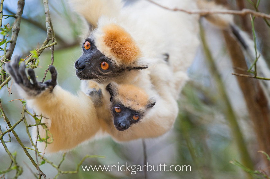 Female Golden-crowned Sifaka (Propithecus tattersalli) carrying 2-month old infant and feeding on buds in the forest canopy. Forests adjacent to the village of Andranotsimaty, near Daraina, northern Madagascar. (Critically Endangered)