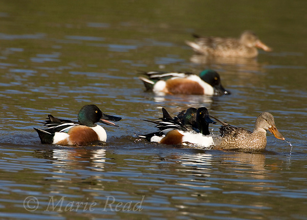 Northern Shoveler (Anas clypeata), male during aggressive interaction, Huntington Beach, California, USA