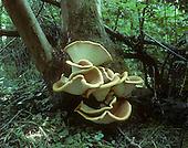 Dryad's Saddle - Polyporus squamosus