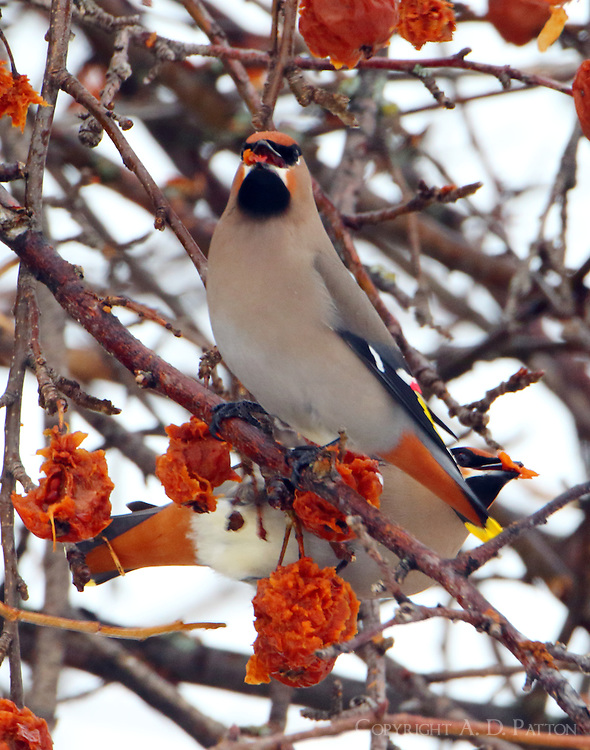 Bohemian waxwings eating fruit