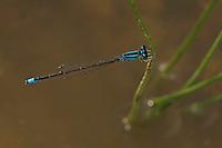 Kleine Pechlibelle, Männchen, Ischnura pumilio, Small Bluetail, scarce blue-tailed damselfly, male, Agrion nain, Ischnure naine