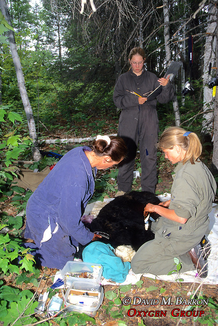 Kris Timmerman, Jodi Yeager & Gitte Andersen Working On Black Bear