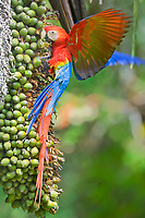 scarlet macaw, Ara macao, eating fruits, Corcovado National Park, Osa Peninsula, Costa Rica, Central America