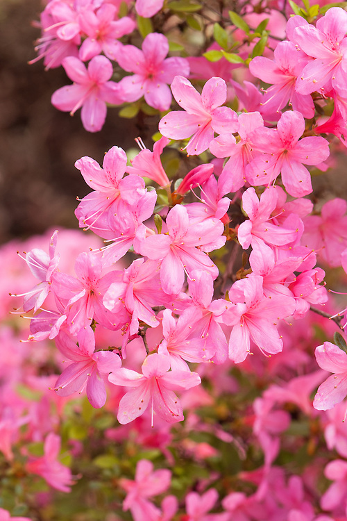 Rhododendron 'Hinomayo', late April. A Kurume azalea, an evergreen shrub with pink flowers in late spring.