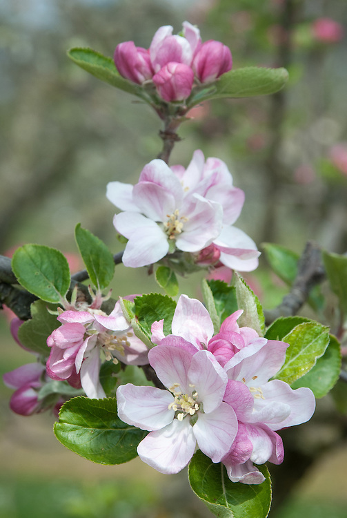 Apple 'Northern Greening' in blossom, late April. An English culinary apple widely grown throughout the country during the 19th century. Origin unknown.