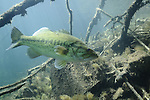 Largemouth Bass (Micropterus salmoides), game fish, sunfish family,underwater, Minnesota, bass