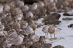Guerroro Negro, Baja California Sur, Mexico; an aggregation of Marbled Godwit, Dunlin and Dowitcher birds along the shoreline at dusk