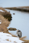 A Cold Great Blue Heron huddles fluffed out on a snowy shore in Rhode Island.