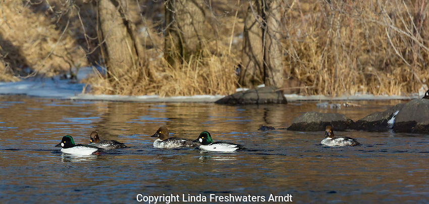 Common goldeneye swimming on the Chippewa River in northern Wisconsin