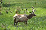 WY: Wyoming; Yellowstone National Park,.elk..Photo #: yellow1567.Photo copyright Lee Foster, 510/549-2202, lee@fostertravel.com, www.fostertravel.com..