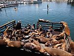 CA sea lions in Monterey Harbor