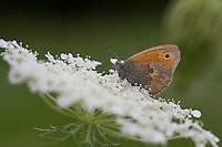 Kleiner Heufalter, Kleines Wiesenvögelchen, Blütenbesuch auf Wilde Möhre, Nektarsuche, Wiesen-Vögelchen, Coenonympha pamphilus, small heath