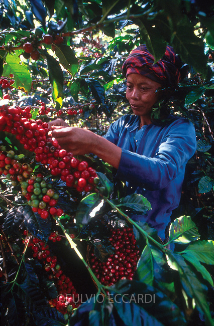 Indonesia, Java, east, coffee, coffea, arabica, organic, cherry, cherries, harvest, process, picking, ripe, red, worker, woman