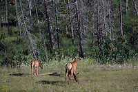 Banff National Park, Canadian Rockies, AB, Alberta, Canada - Elk Cow, Wapiti (Cervus canadensis) with Calves, foraging in Forested Meadow