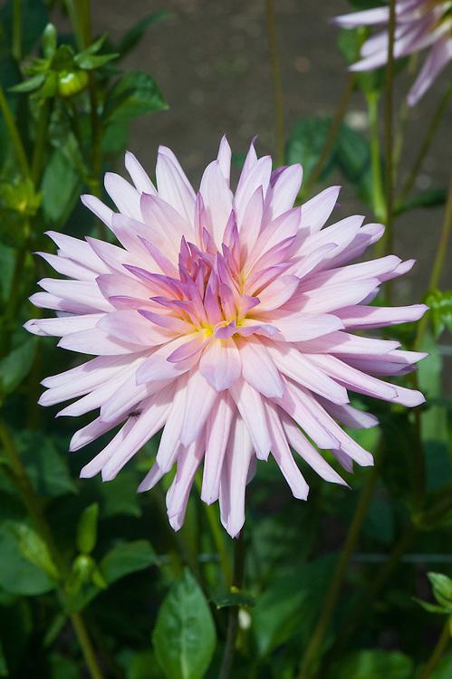 Dahlia 'Oakwood Bridesmaid', early September. A pink and purple Cactus Group dahlia.