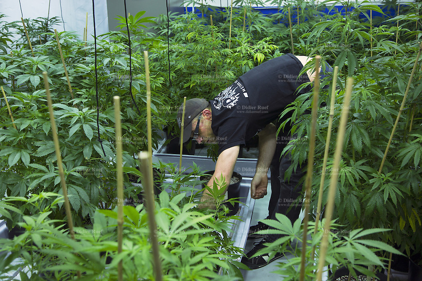 USA. Washington state. Seattle. A worker from AuricAG in a marijuana grow room with plants in a vegetative state. AuricAG is a licensed producer and processor of Marijuana in Washington State. AuricAG is authorized, according to cannabis legalization in Washington State, to supply only licensed Washington State retail store fronts. AuricAG offers a wide array of strains that encompass the recreational aspect of the market as well as the medical market. Cannabis, commonly known as marijuana, is a preparation of the Cannabis plant intended for use as a psychoactive drug and as medicine. Pharmacologically, the principal psychoactive constituent of cannabis is tetrahydrocannabinol (THC); it is one of 483 known compounds in the plant, including at least 84 other cannabinoids, such as cannabidiol (CBD), cannabinol (CBN), tetrahydrocannabivarin (THCV), and cannabigerol (CBG). 13.12.2014 © 2014 Didier Ruef