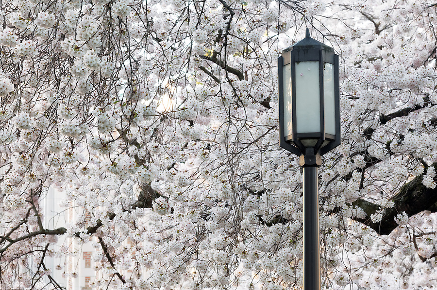 Lamp pole and blooming Yoshino cherry trees, Liberal Arts Quad, University of Washington, Seattle, Washington, USA