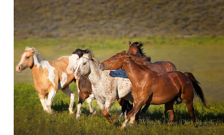 Chestnut mustang keeps a watchful eye, as band of horses gallop across a pasture, eastern Oregon.