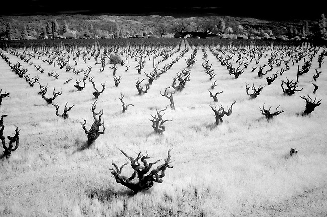 Bartolucci vineyard with Infra red