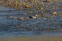 Kragenente, Kragen-Ente, Weibchen führt ihre Küken, Histrionicus histrionicus, harlequin duck, lords and ladies. Other names include painted duck, totem pole duck, rock duck, glacier duck, mountain duck, white-eyed diver, squeaker, blue streak, female, chick, chicken, fledgling, fledglings, L'Arlequin plongeur, Canard arlequin, Garrot arlequin, Island, Iceland