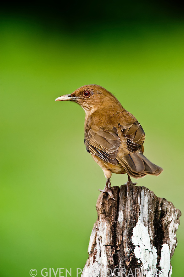 Clay-colored Robin, Belize