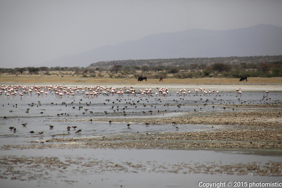 Lake Abiatta flamingos