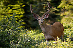 Male buck Mule Deer Odocoileus hemionus, Dorst Creek, Sequoia National Park, California
