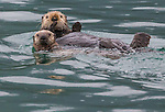 Sea otter and pup, Icy Strait, Alaska, USA