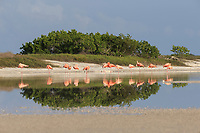 American Flamingos (Phoenicopterus ruber) . Rio Lagartos Biosphere Reserve, Mexico. July.