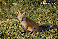 FX03-013z  Red Fox - several months old - Vulpes vulpes