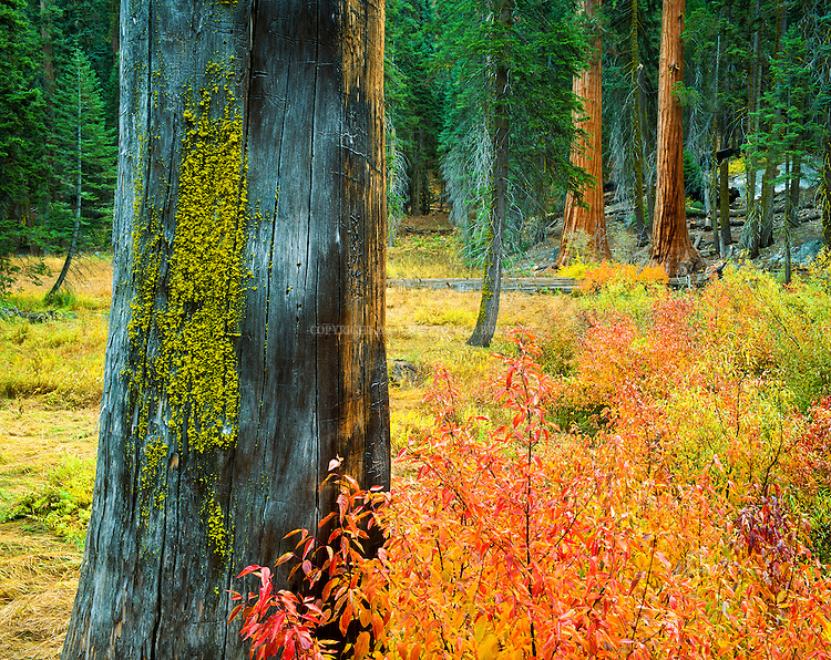 Autumn colors at the edge of Circle Meadow along the Trail of the Sequoias / Circle Meadow Loop Trail. Sequoia National Park, est. 9/25/1890. 404,051 acres (1,635 km2). Giant sequoia forests are part of 202,430 acres (81,921 ha) of old-growth forests shared by Sequoia and Kings Canyon. National Parks. Tulare County, CA.