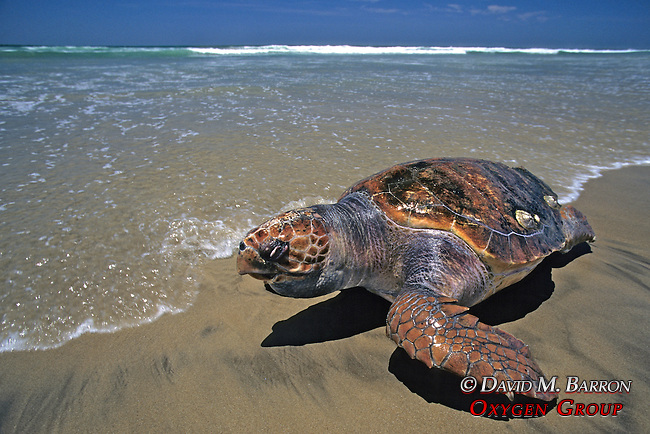 Dead Loggerhead Sea Turtle